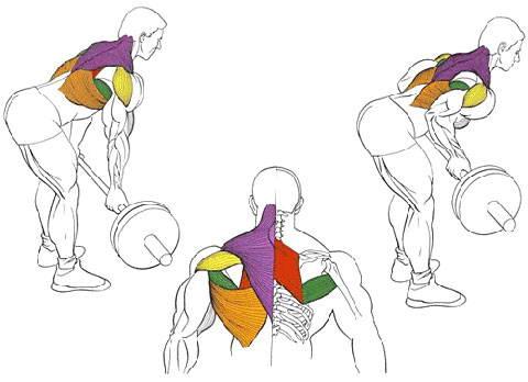 Тяга штанги в наклоне обратным хватом для мышц спины